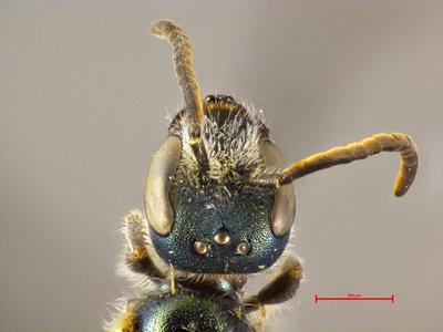 Lasioglossum tirolense panagaeum