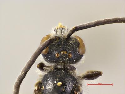 Lasioglossum matianense pluto