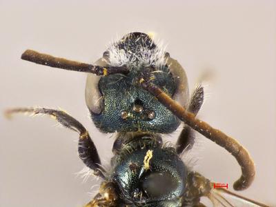 Lasioglossum talyschense MISSING