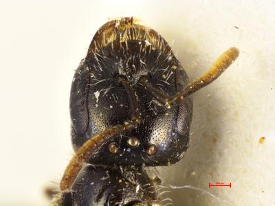Lasioglossum lactipenne Ebmer