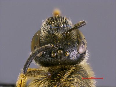 Lasioglossum zonulum euronotum (Smith, 1848)