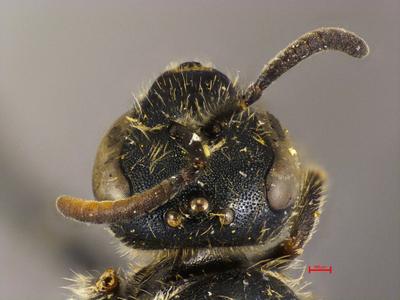 Lasioglossum nicias Ebmer