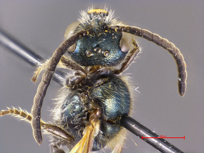 Lasioglossum sichuanense MISSING