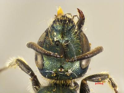 Lasioglossum montivolans MISSING