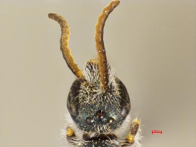 Lasioglossum leptocephalum MISSING