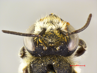 Megachile atvatula MISSING