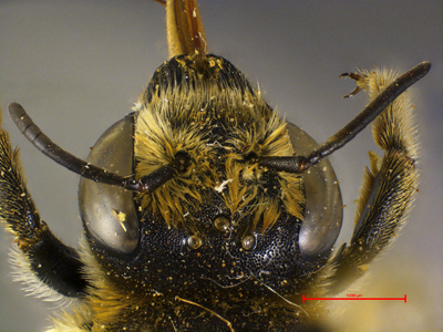 Megachile strymania MISSING