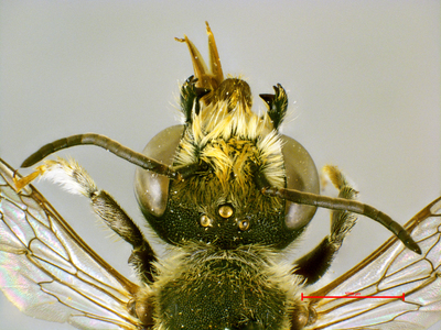Megachile semicircularis Van der Zanden