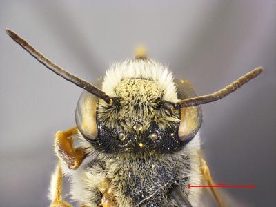 Megachile insignis Van der Zanden