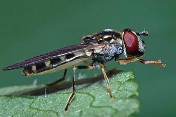 muha trepetavka (<i>Platycheirus peltatus</i>)