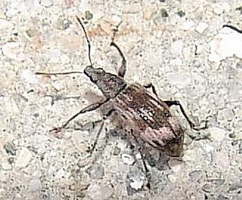 rilčkar (<i>Polydrusus tereticollis</i>)