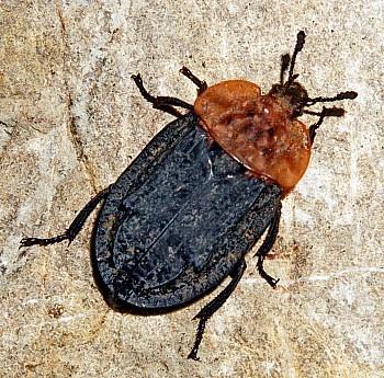 grobar ali rdečevrati mrhar (<i>Oiceoptoma thoracicum</i>)