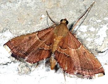 vešča (<i>Endotricha flammealis</i>)