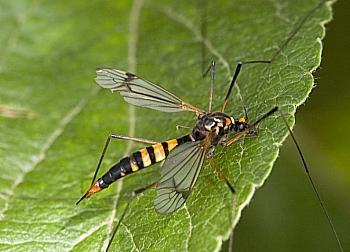 košeninar (<i>Nephrotoma crocata</i>)