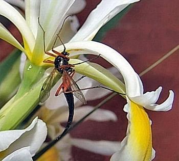 črna glavnikarica (<i>Tanyptera atrata</i>)