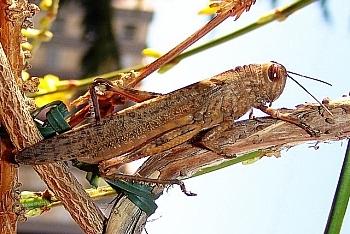 egipčanska kobilica (<i>Anacridium aegyptium</i>)