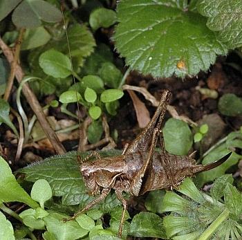 temna grmovna kobilica (<i>Pholidoptera griseoaptera</i>)