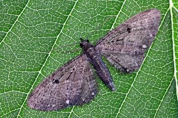 pedic (<i>Eupithecia tripunctaria</i>)