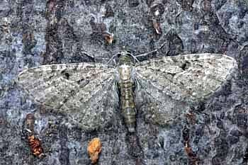 pedic (<i>Eupithecia virgaureata</i>)