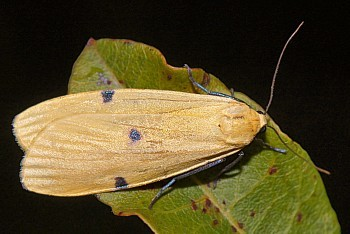 veliki lišajar (<i>Lithosia quadra</i>)