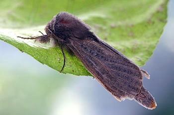 trsni lesovrt (<i>Phragmataecia castaneae</i>)