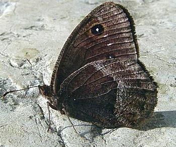 skalni okar (<i>Satyrus ferula</i>)