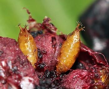 plodova vinska mušica