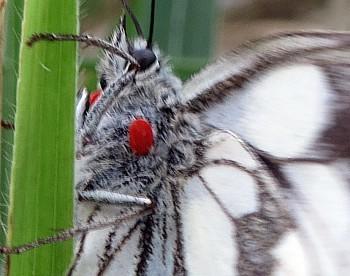 metuljeva žametna pršica