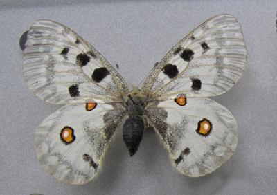Parnassius (Parnassius) apollo (Linnaeus, 1758)