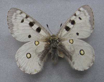 Parnassius (Parnassius) apollo escalerae Rothschild, 1909