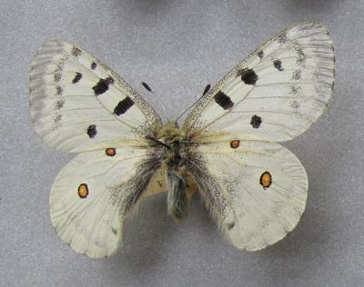 Parnassius (Parnassius) apollo pumilus Stichel, 1906