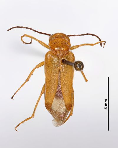 Stenoria (Stenoria) apicalis apicalis (Latreille, 1804)