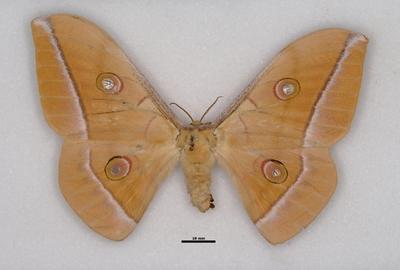 Antheraea pernyi (Guérin-Méneville, 1855)