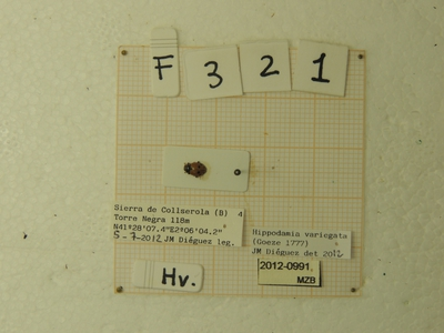 Hippodamia (Hippodamia) variegata (Goeze, 1777)
