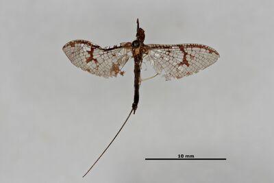 Rhoenanthus obscurus Navás, 1922