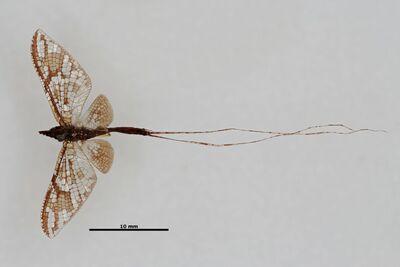 Rhoenanthus vitalisi Navás, 1922