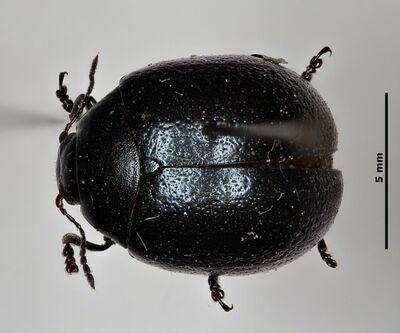 Chrysolina (Ovosoma) vernalis pyrenaica (Dufour, 1843)