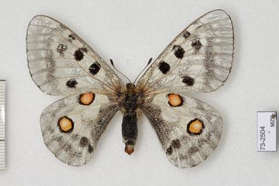 Parnassius (Parnassius) apollo pyrenaicus Harcourt-Bath, 1896