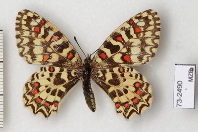 Zerynthia rumina rumina (Linnaeus, 1758)
