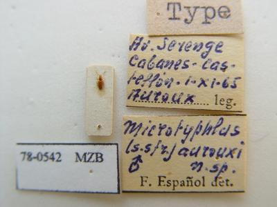 Speleotyphlus aurouxi (Español, 1966)