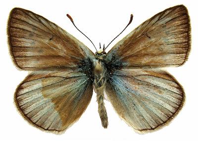 Polyommatus (Agrodiaetus) fulgens fulgens (Sagarra, 1925)