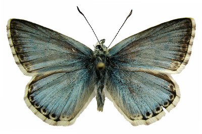 Polyommatus (Lysandra) coridon asturiensis (Sagarra, 1924)
