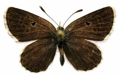 Aricia morronensis ordesae Sagarra, 1931