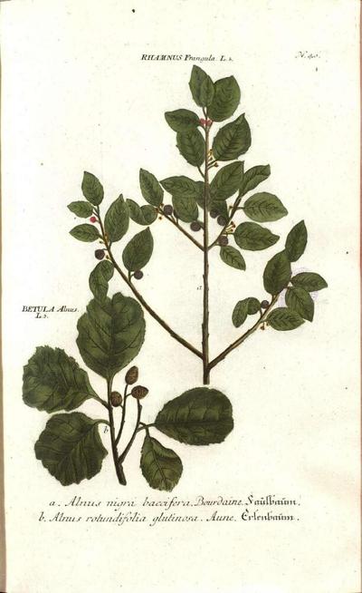 b< Alnus rotundifolia glutinosa. Aure