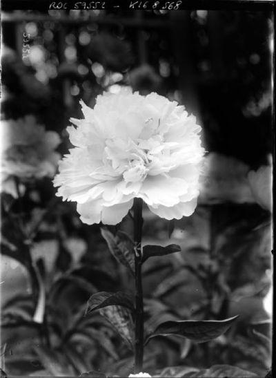 Pivoine [exposition d'horticulture, palmarium du jardin d'acclimatation, juin 1920] : [photographie de presse] / [Agence Rol]