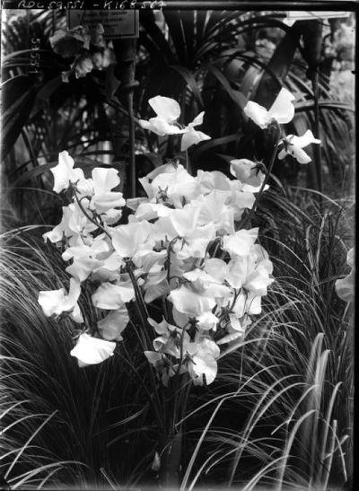 Pois de senteur [exposition d'horticulture, palmarium du jardin d'acclimatation, juin 1920] : [photographie de presse] / [Agence Rol]