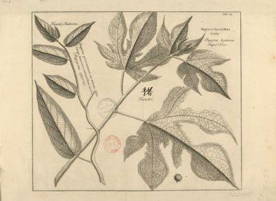 Papyrus procumbens lac tescens, folio longo lanceato, cortice char taceo ; Papyrus fructu mori celsa