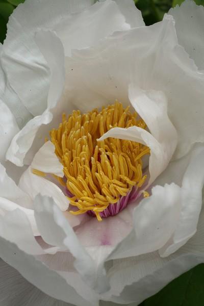Paeonia suffruticosa 'Bai Yu'