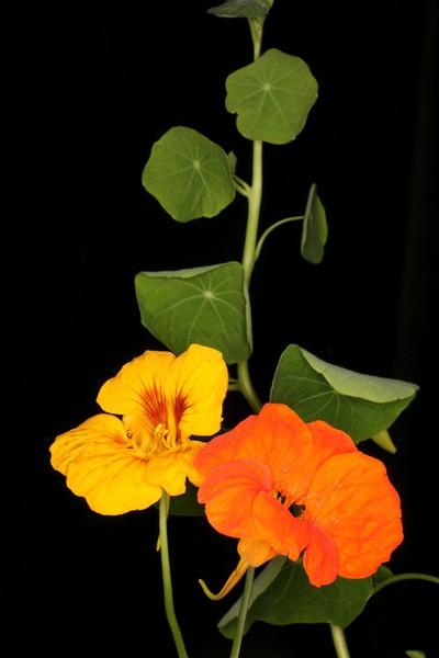 Tropaeolum cv
