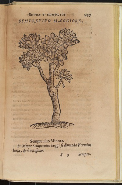 Woodcut of Houseleek (Sempervivum tectorum) used to soothe inflammations of the skin such as bee stings, rashes, ulcers etc